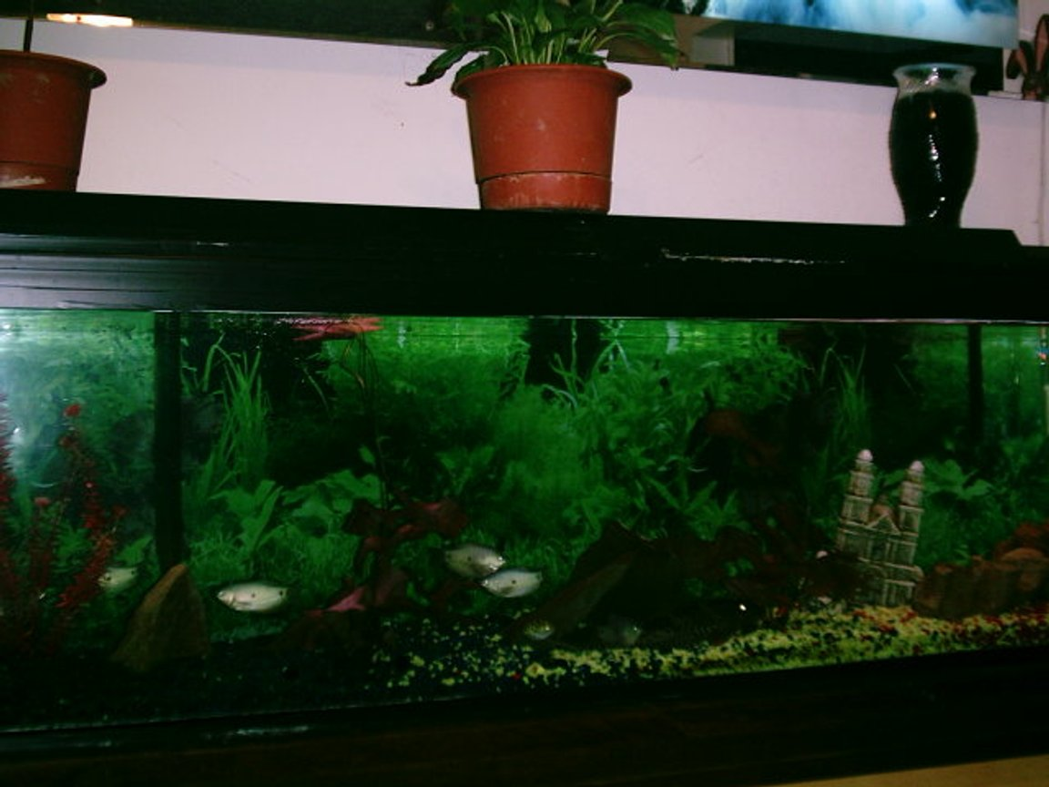 100 gallons freshwater fish tank (mostly fish and non-living decorations) - 100 gallon tank with two live plants, two fake plants, big rocks for fish to hide in, one castle, two filters, five Gaumis, six Convict Cichilds, one Spotted Puffer, One Angel Fish, and one Lg Pleco.