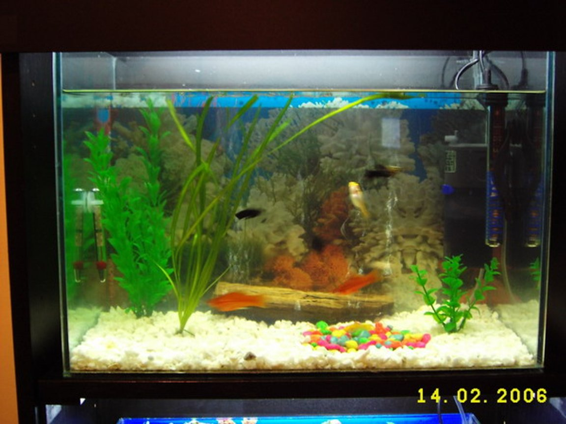 12 gallons freshwater fish tank (mostly fish and non-living decorations) - Livebearers