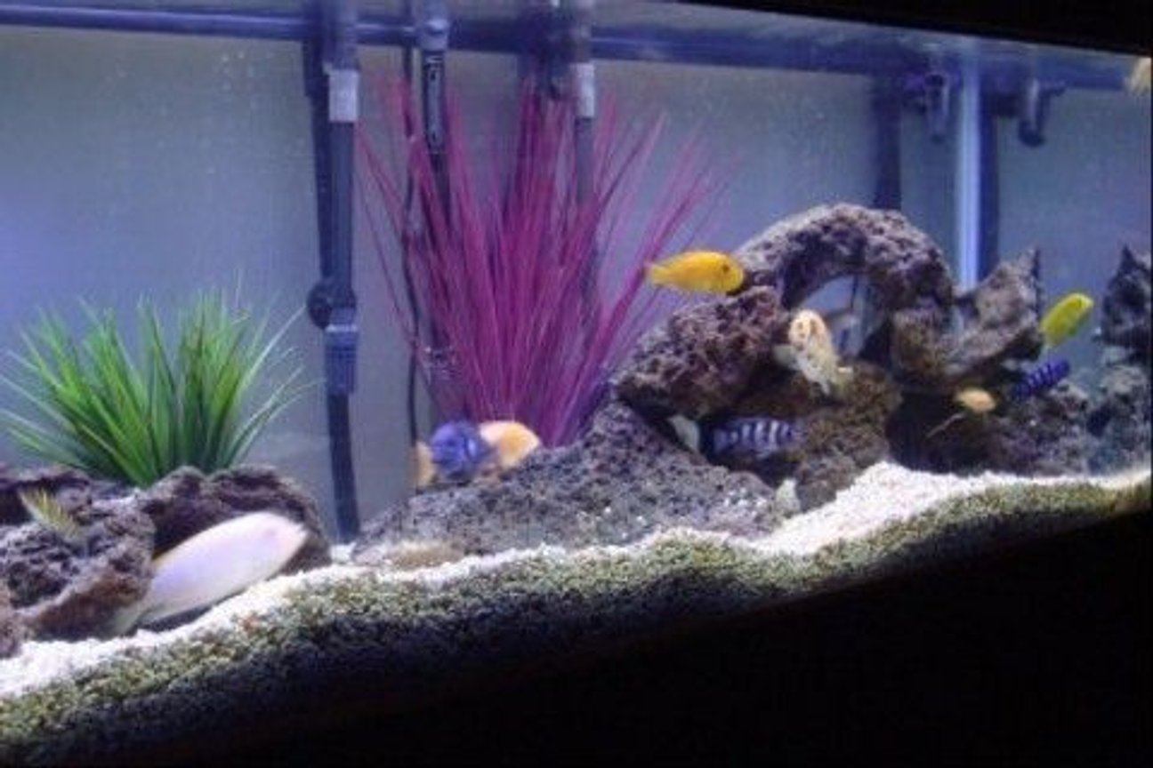 75 gallons freshwater fish tank (mostly fish and non-living decorations) - 75 Gallon Mixed African Cichlid