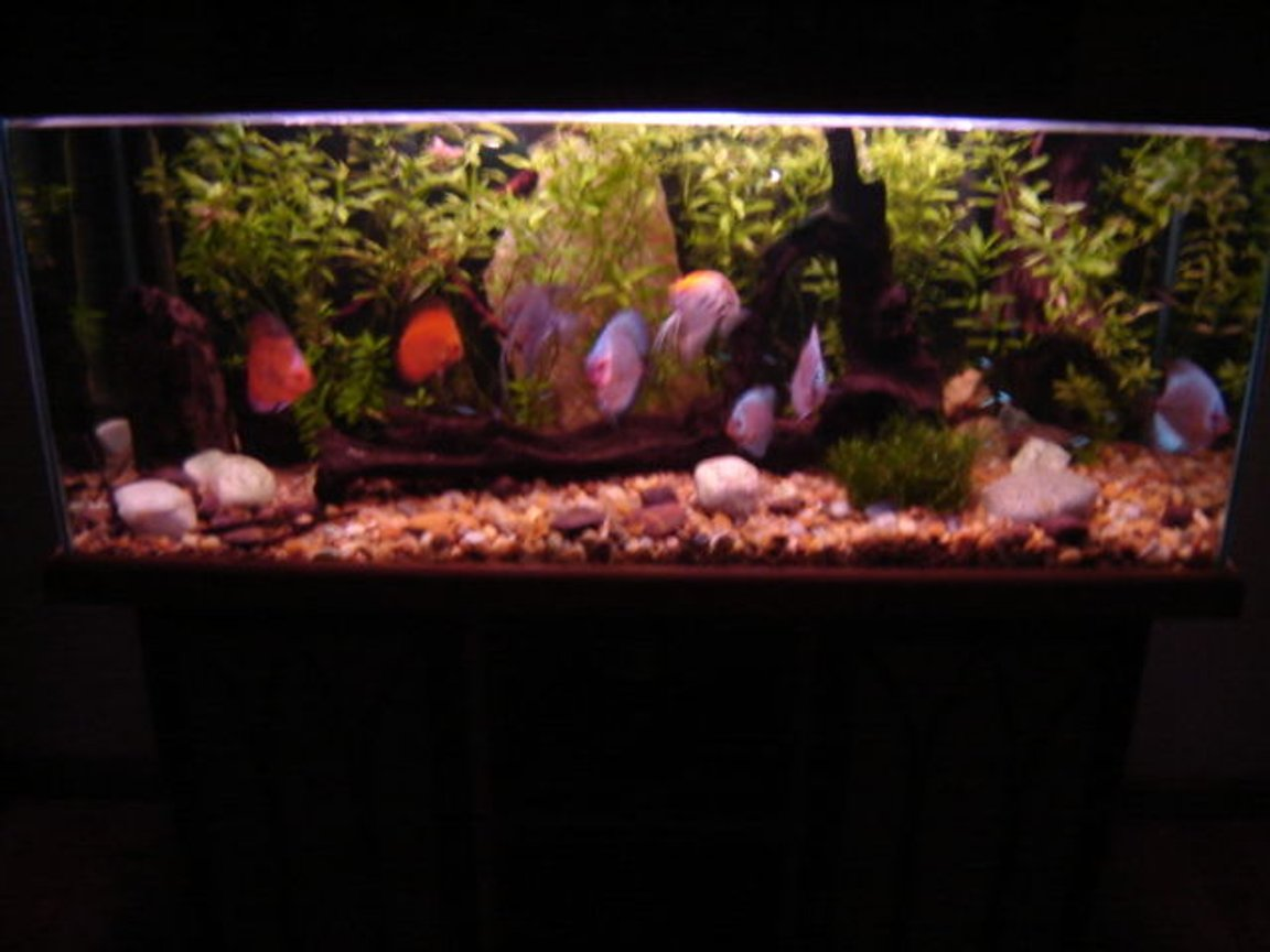 113 gallons freshwater fish tank (mostly fish and non-living decorations) - My discus tank