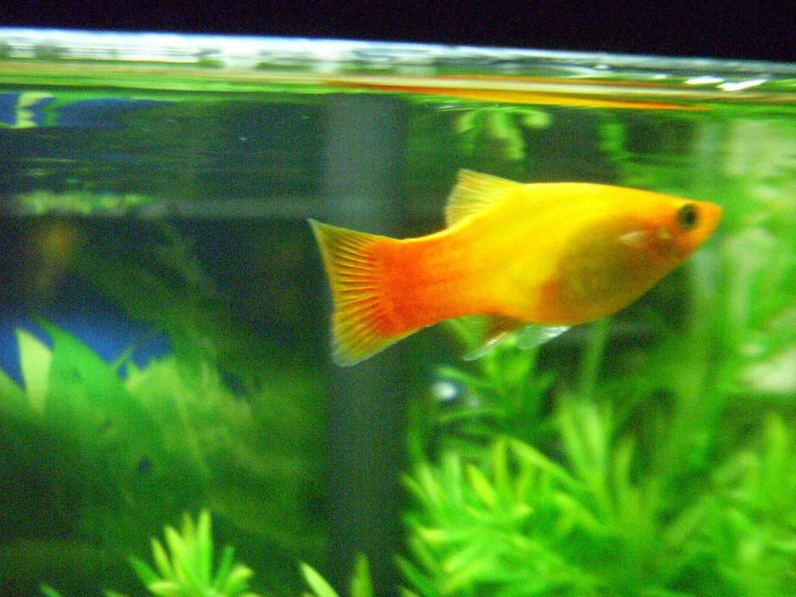 10 gallons freshwater fish tank (mostly fish and non-living decorations) - Sunset Platy