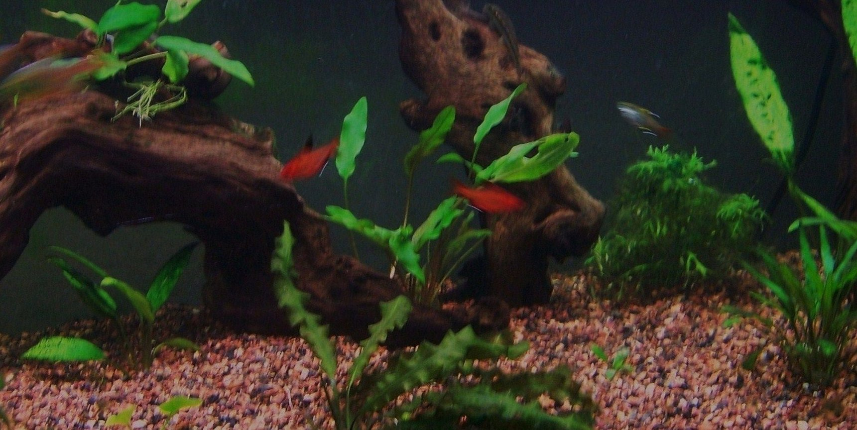 75 gallons freshwater fish tank (mostly fish and non-living decorations) - close up