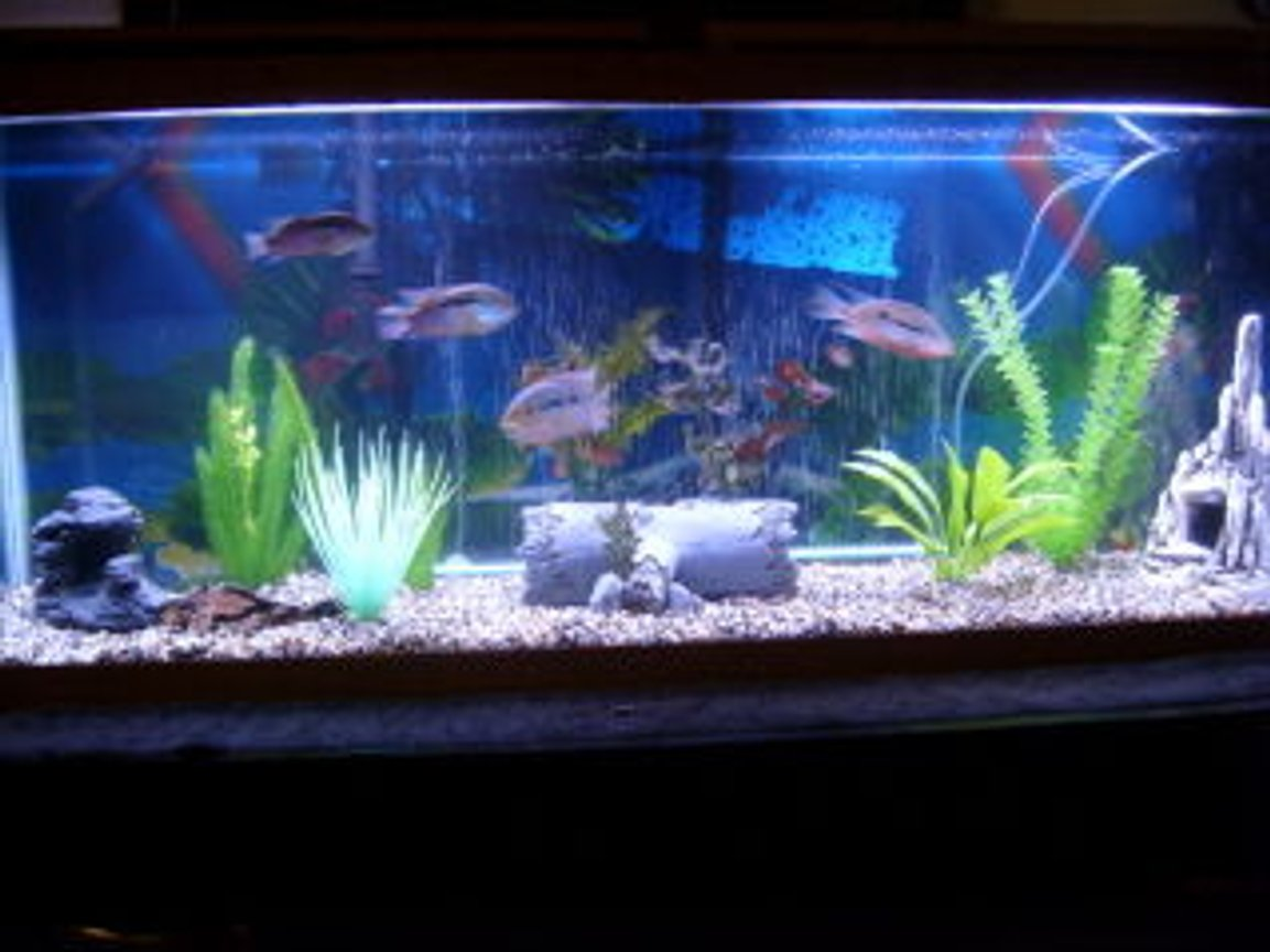 55 gallons freshwater fish tank (mostly fish and non-living decorations) - 55 Gal South American Cichlid Setup