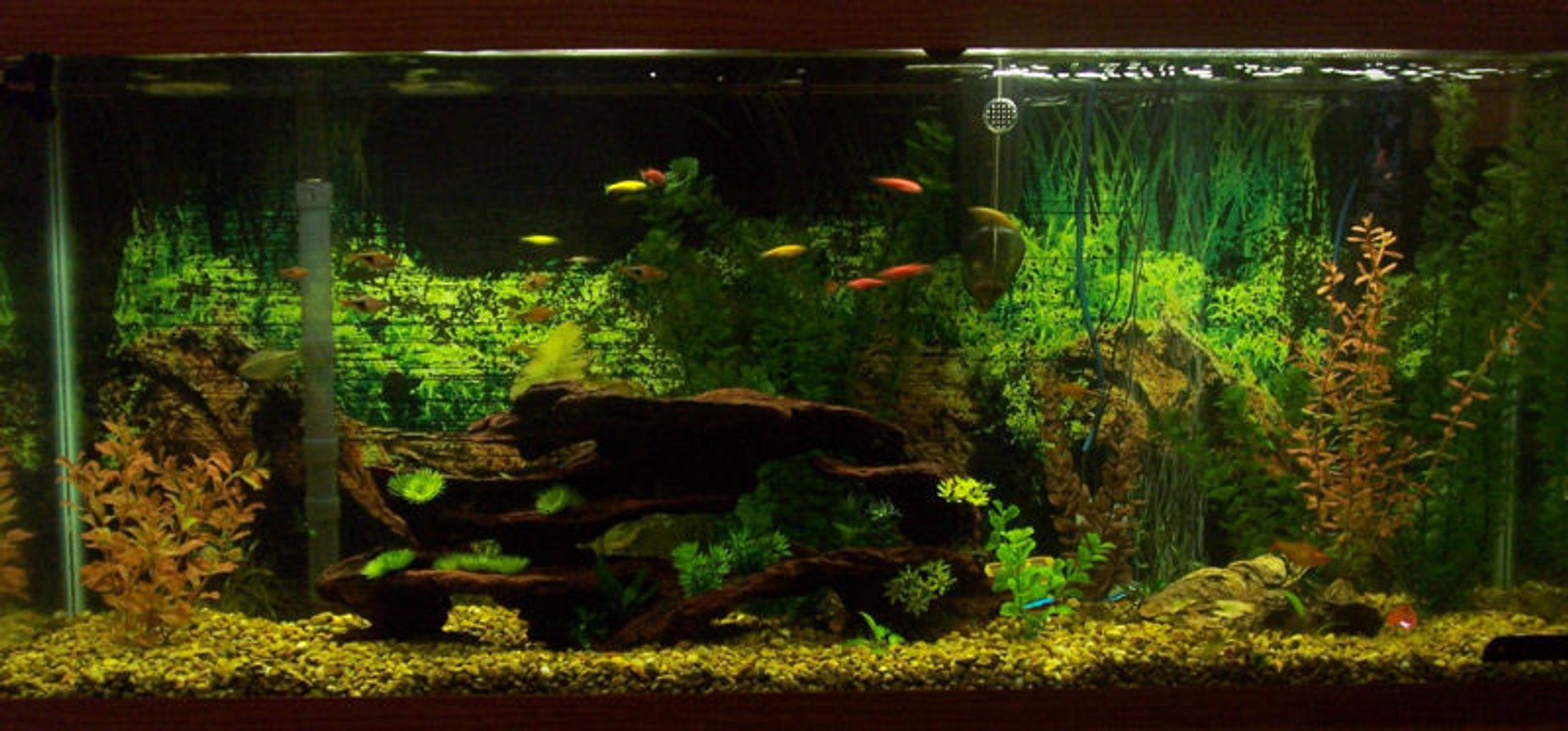 55 gallons freshwater fish tank (mostly fish and non-living decorations) - 55g Community Aquarium