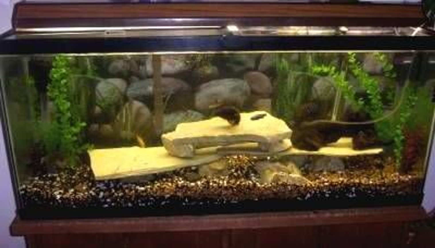 "75 gallons freshwater fish tank (mostly fish and non-living decorations) - the 75 after I moved ""Dumpster"" out of it.I will be updating it soon."