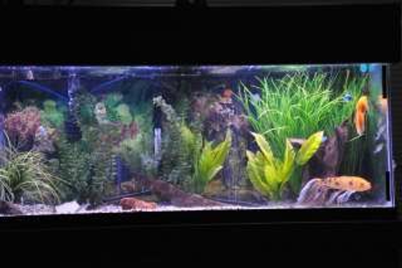 75 gallons freshwater fish tank (mostly fish and non-living decorations) - 75 Community with gouramis, danio, columbian sharks, koi and a tri fin, gold nugget and others