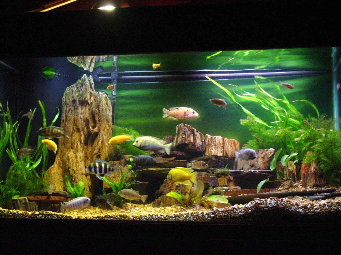 90 gallons freshwater fish tank (mostly fish and non-living decorations) - 90 gallon mixed African cichlid tank