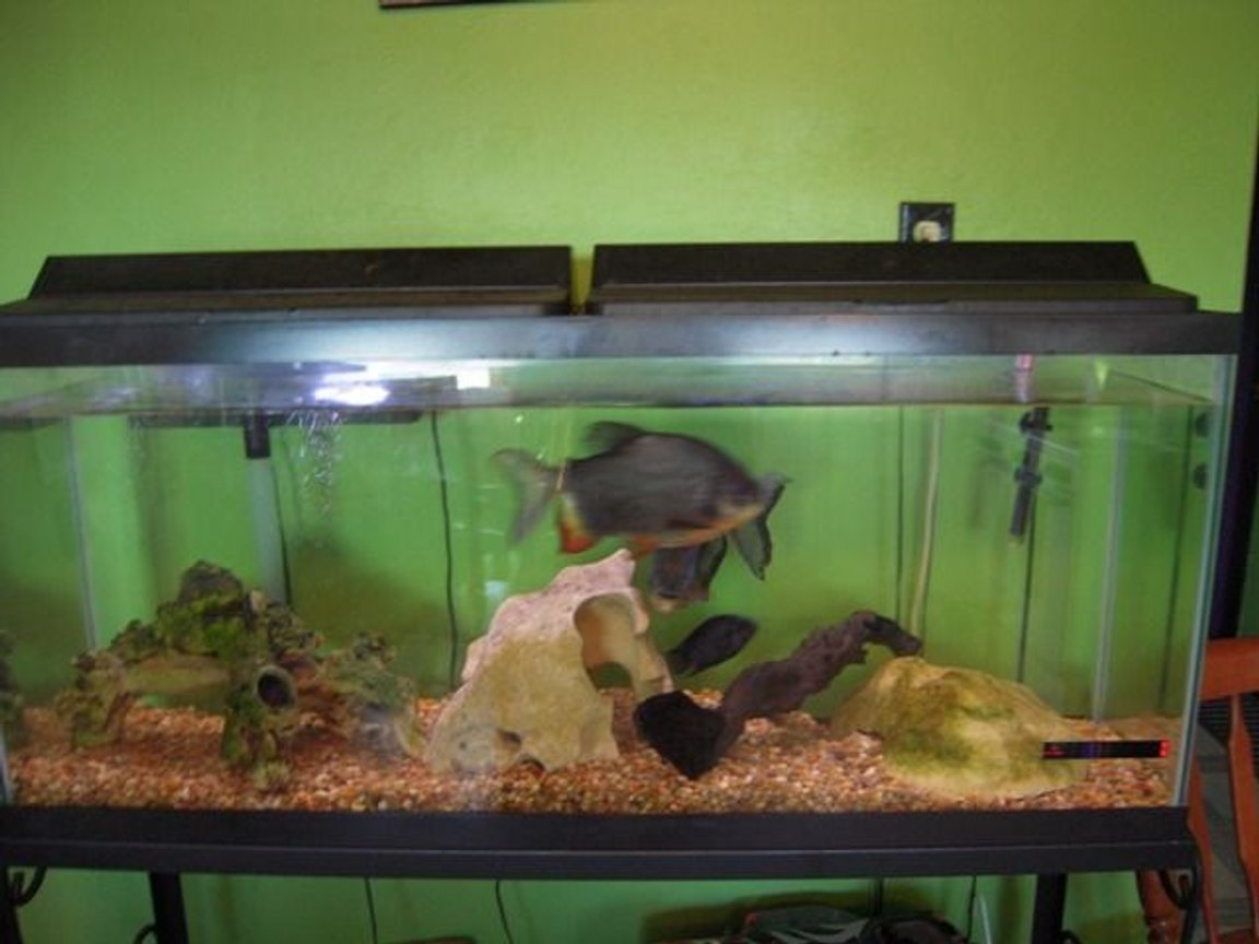 125 gallons freshwater fish tank (mostly fish and non-living decorations) - Two Pacu, Convict.