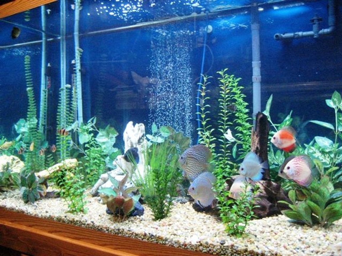 150 gallons freshwater fish tank (mostly fish and non-living decorations) - 150 Gal. Discus Tank