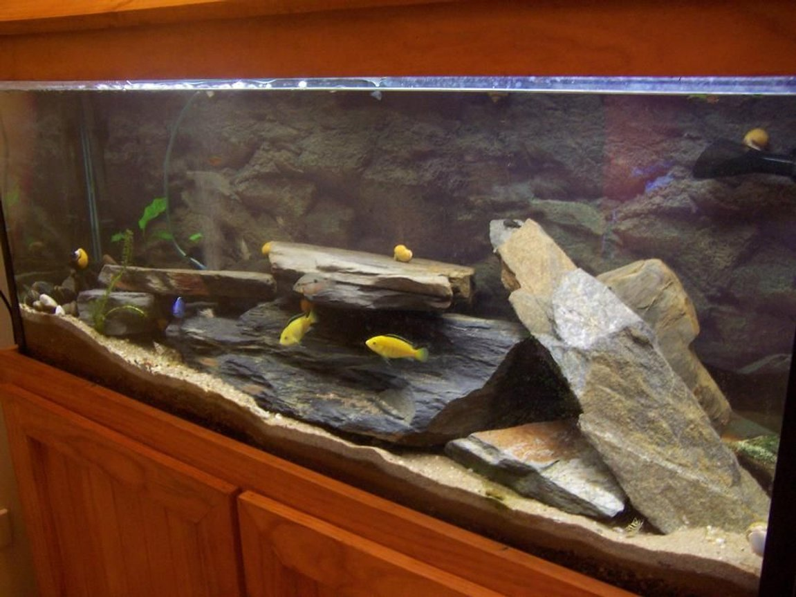 400 gallons freshwater fish tank (mostly fish and non-living decorations) - 4 foot - electric blue, electric yellow, clown loaches, humpheads and catfish