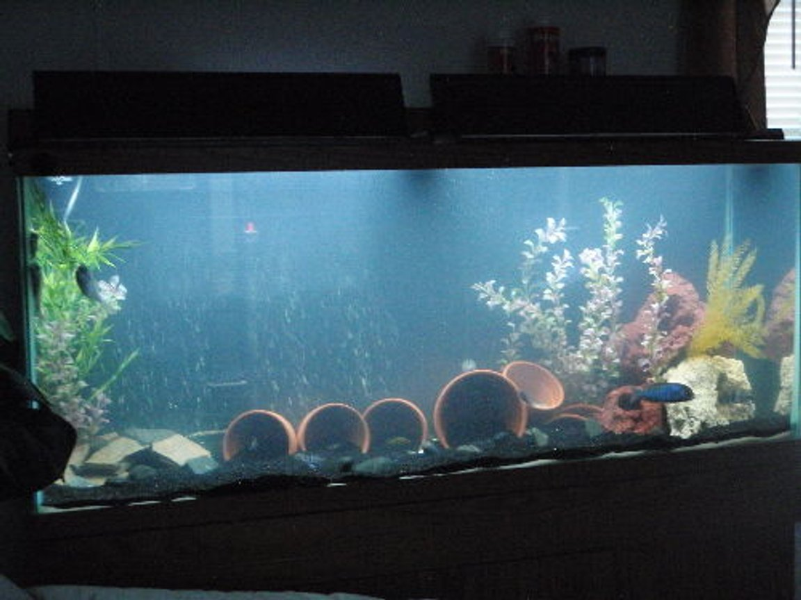 55 gallons freshwater fish tank (mostly fish and non-living decorations) - 55 front and c.moorii