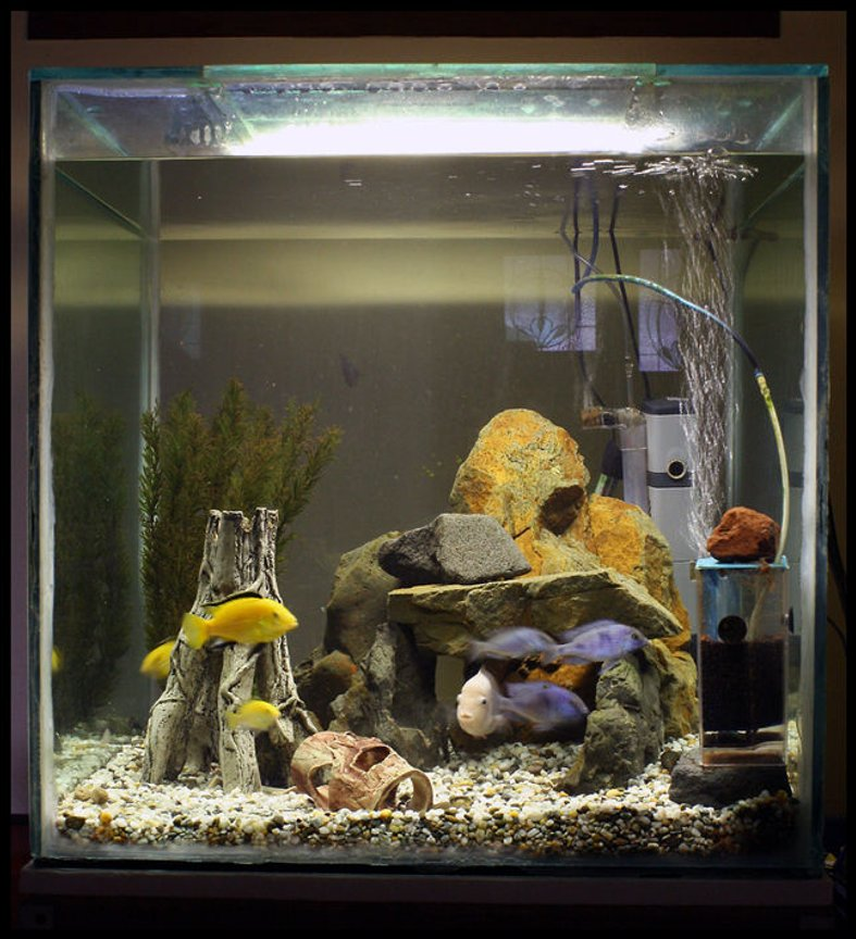 freshwater fish tank (mostly fish and non-living decorations) - 4 x electric yellow, 4 x dolphins, 3 x convicts and 2 plecos.