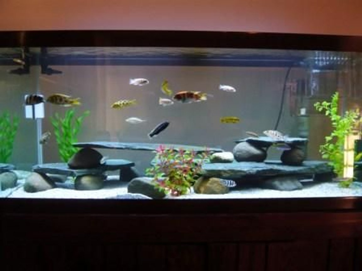 75 gallons freshwater fish tank (mostly fish and non-living decorations) - 75gal Cichlid Tank