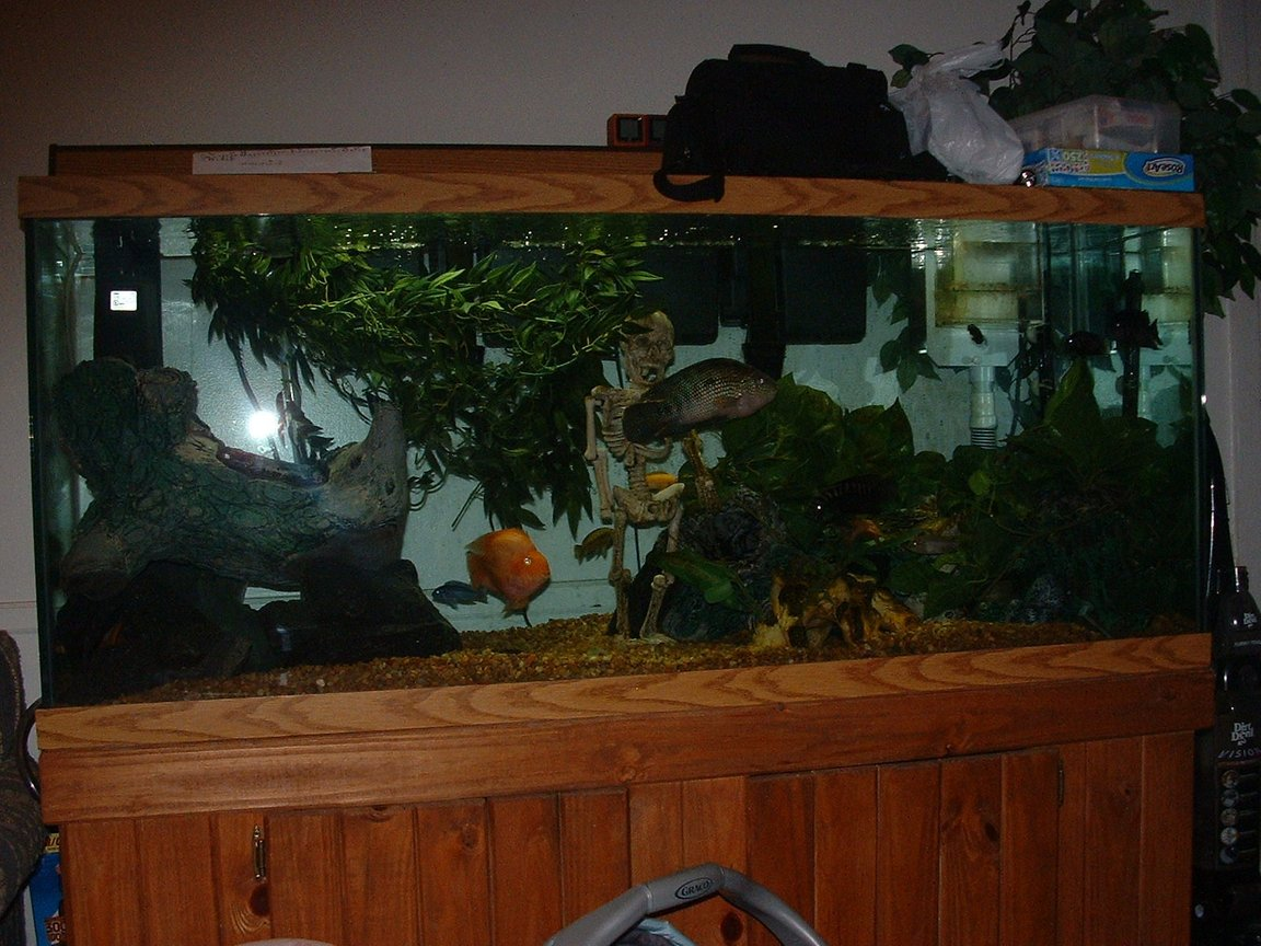 120 gallons freshwater fish tank (mostly fish and non-living decorations) - jack dempsey