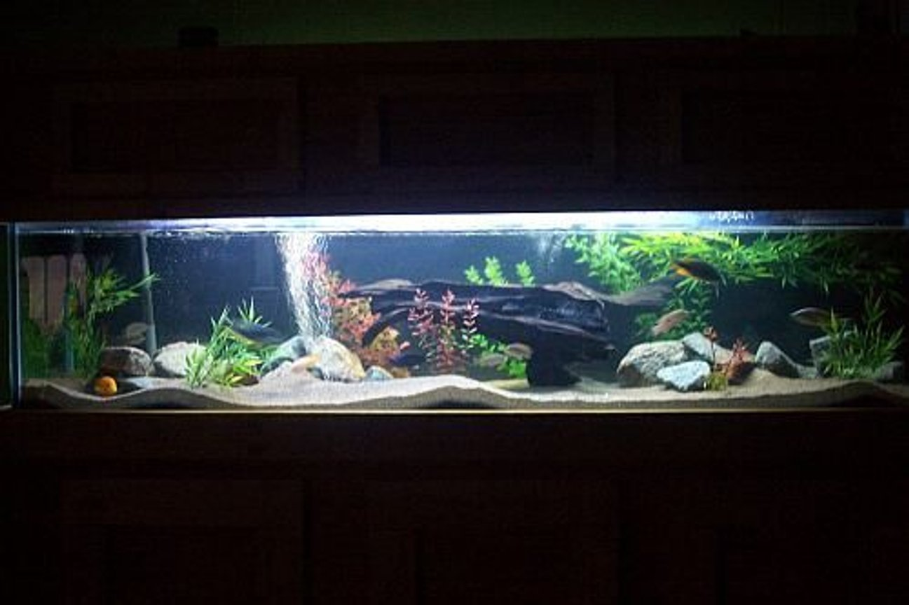100 gallons freshwater fish tank (mostly fish and non-living decorations) - night view- 100 gallon african cichlid tank