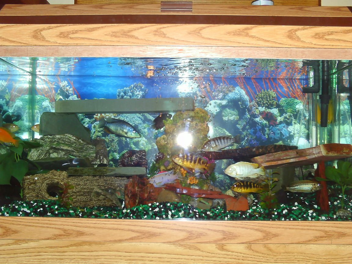 55 gallons freshwater fish tank (mostly fish and non-living decorations) - 55 gal Cichlid