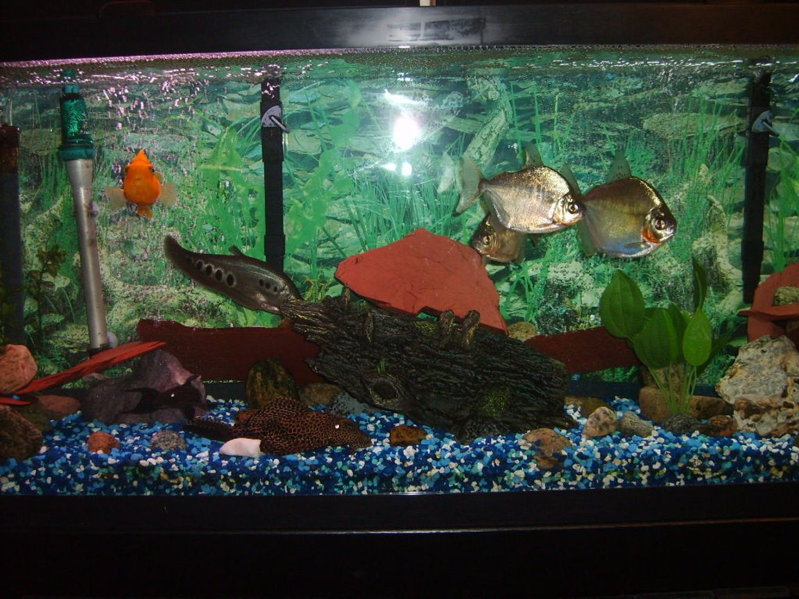 55 gallons freshwater fish tank (mostly fish and non-living decorations) - 55 gallon fresh water tank
