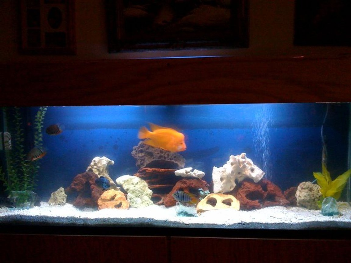 150 gallons freshwater fish tank (mostly fish and non-living decorations) - 150 gal cichlid tank