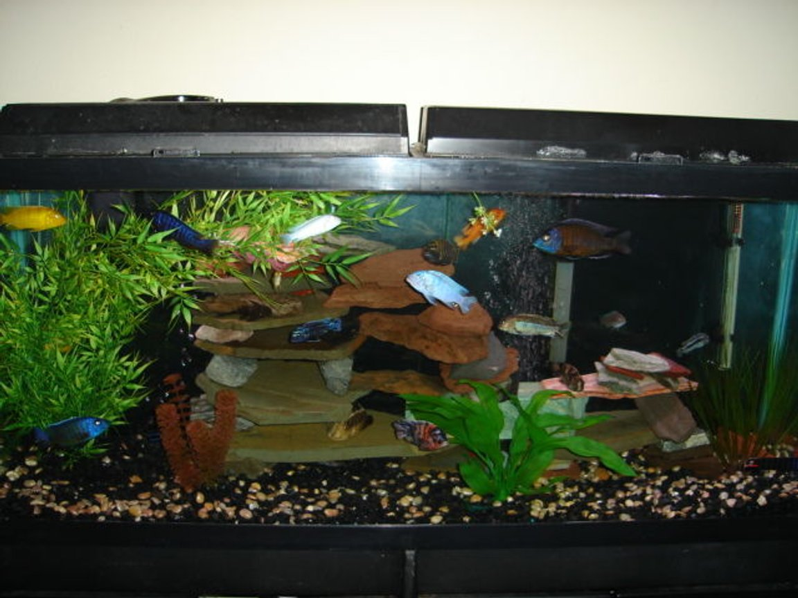 55 gallons freshwater fish tank (mostly fish and non-living decorations) - Cichlidness
