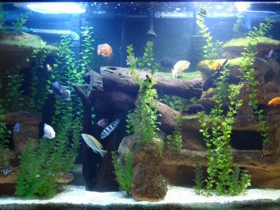 120 gallons freshwater fish tank (mostly fish and non-living decorations) - 120G Cichlid tank with custom backdrop.