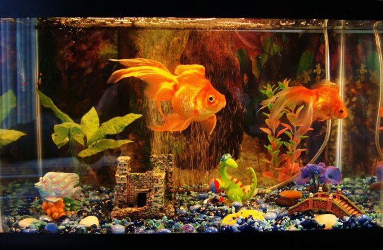 10 gallons freshwater fish tank (mostly fish and non-living decorations) - 2 Goldfishes. both 3+ years. Fins are looking great . Their bodies are about 3 inches long, fins are about another 3 inches as well. Big one's female, small one male.