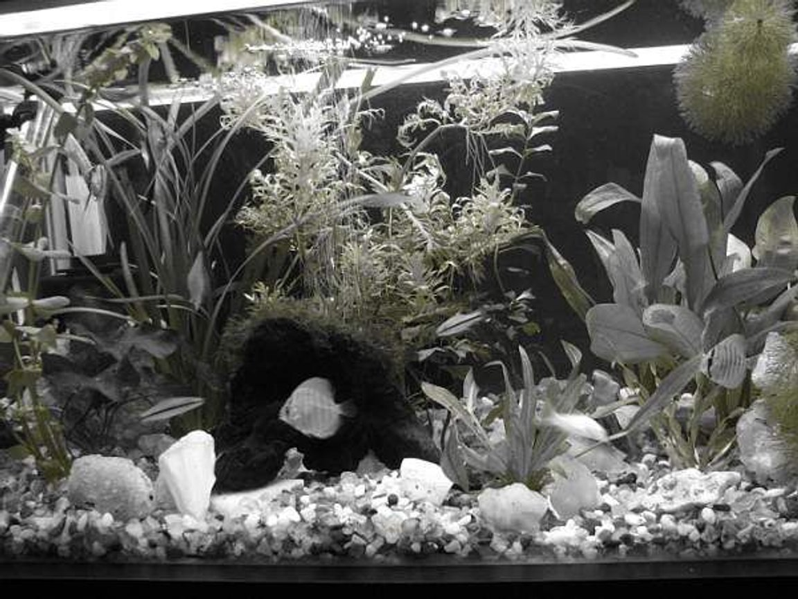 12 gallons freshwater fish tank (mostly fish and non-living decorations) - Aquarium in monochrome