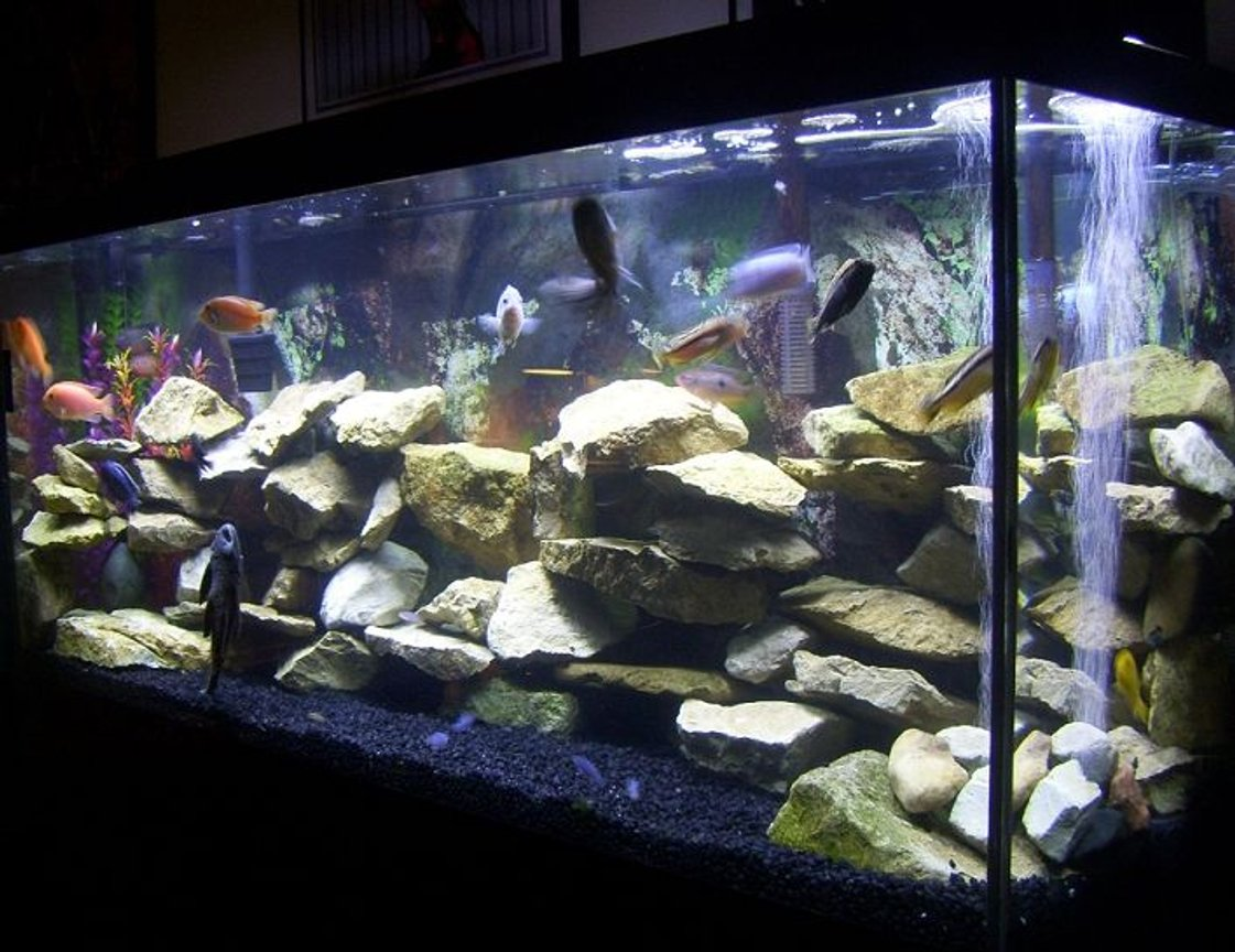 55 gallons freshwater fish tank (mostly fish and non-living decorations) - My 55 gallon Cichlid tank.