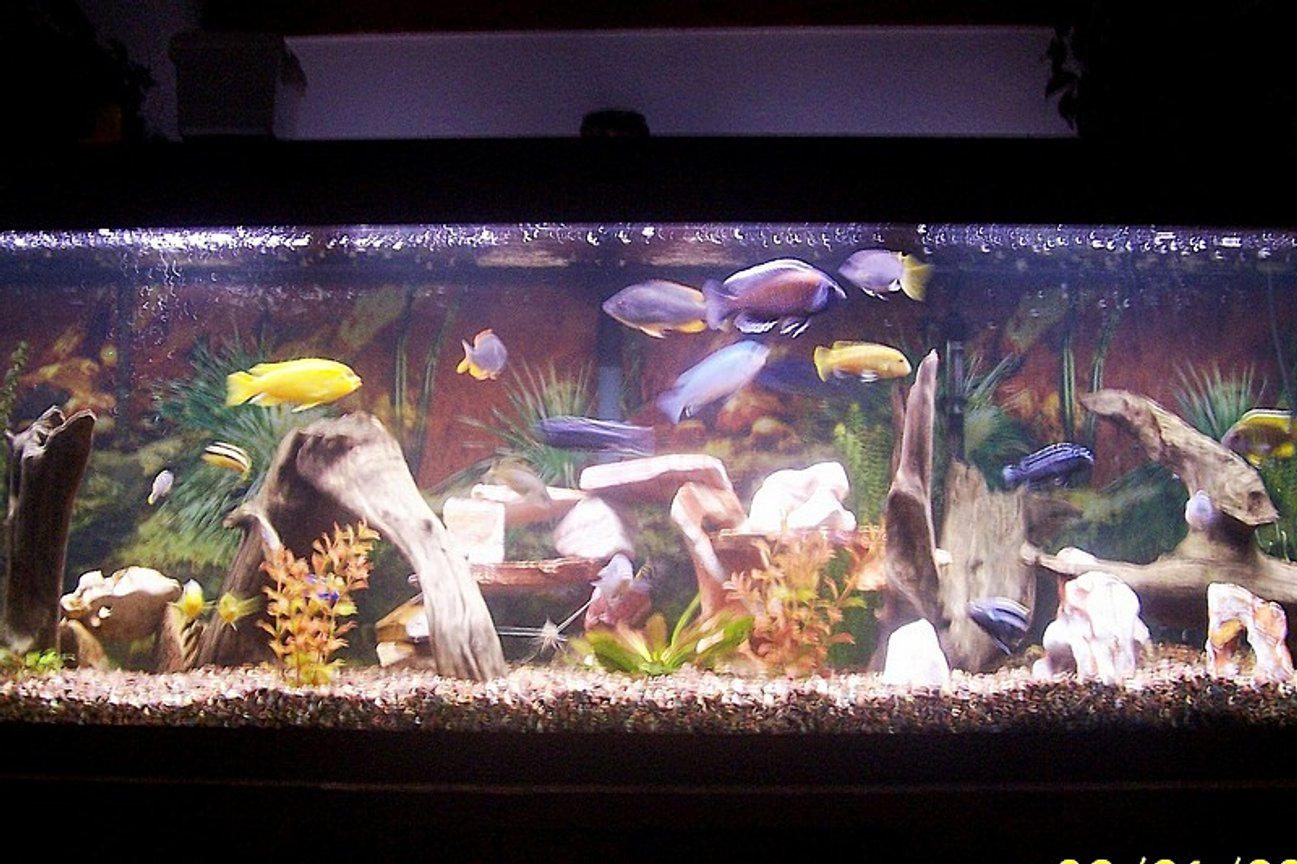 125 gallons freshwater fish tank (mostly fish and non-living decorations) - 125 Gallon Chiclid tank including Sofocoli, Chipoke, Johanni, Yellow Labs, and a Pictus Cat.