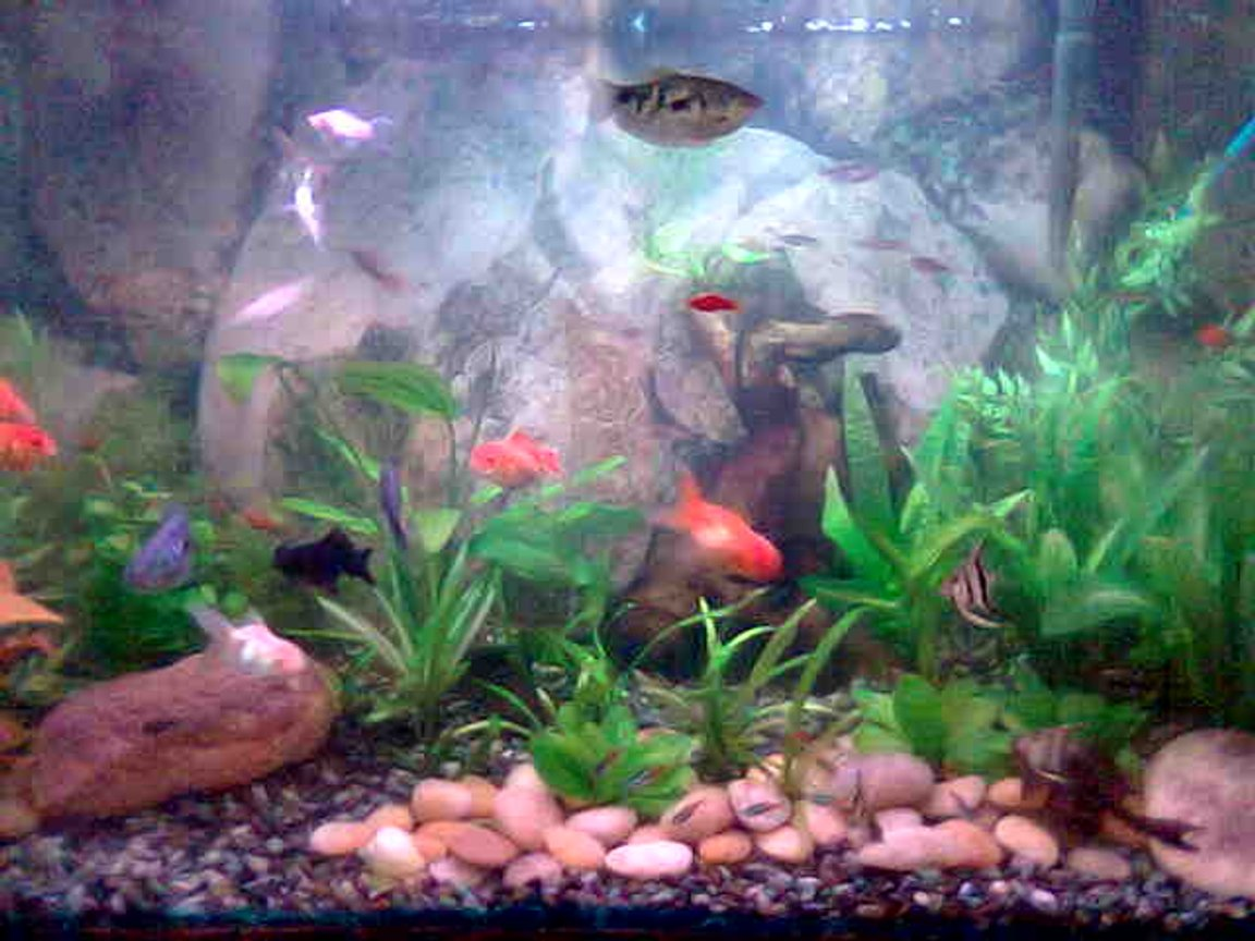 40 gallons freshwater fish tank (mostly fish and non-living decorations) - 40 GALONS TANK