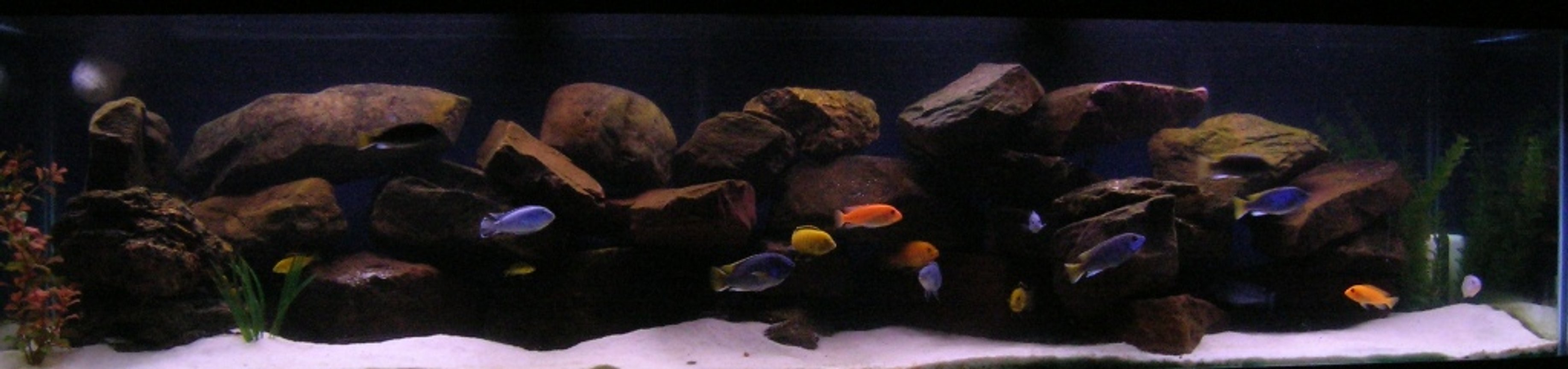 100 gallons freshwater fish tank (mostly fish and non-living decorations) - My 100g Dream Cichlid Tank