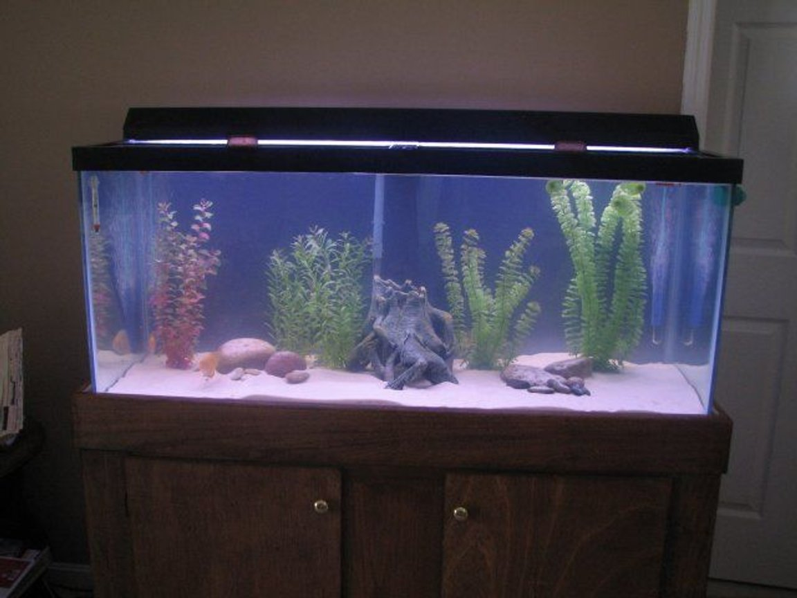 75 gallons freshwater fish tank (mostly fish and non-living decorations) - This is my remodeled 75 gallon freshwater tank.