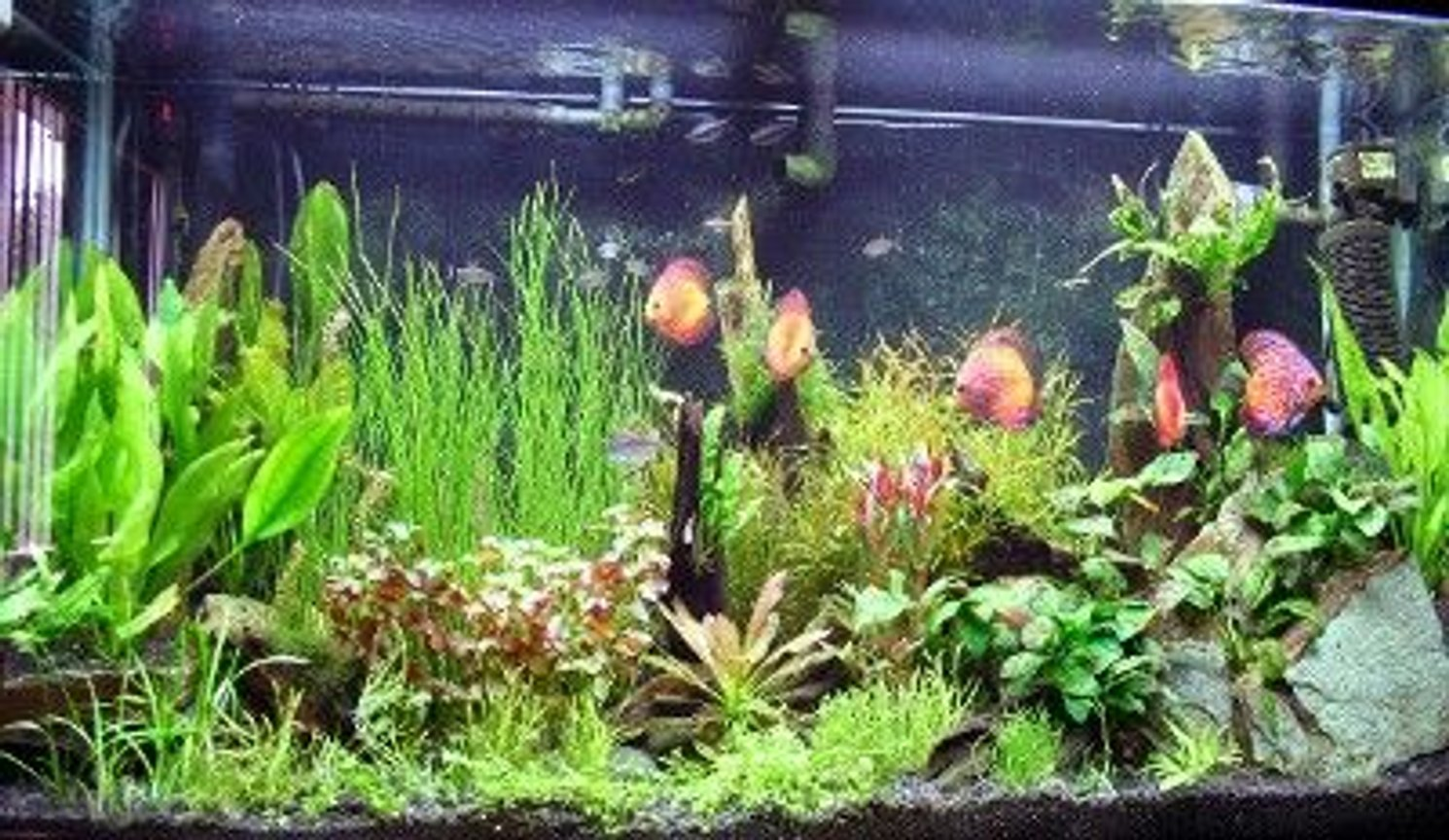 90 gallons freshwater fish tank (mostly fish and non-living decorations) - discus tank