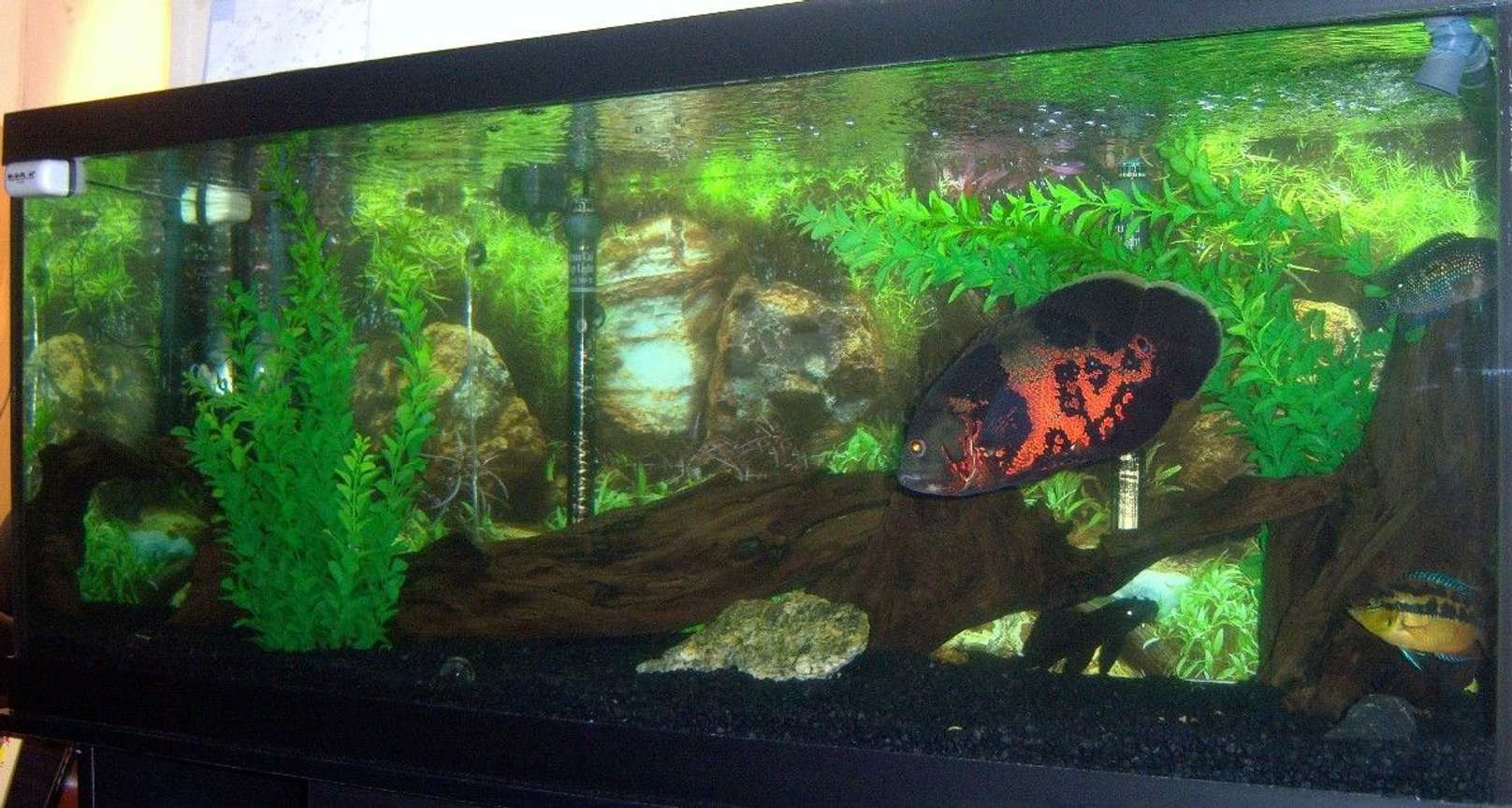 75 gallons freshwater fish tank (mostly fish and non-living decorations) - my 75 gallon Tiger Oscar tank