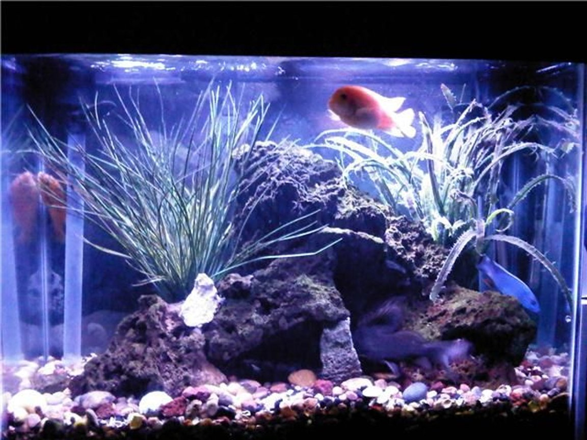 47 gallons freshwater fish tank (mostly fish and non-living decorations) - 47g Lake Malawi Biotope Tank