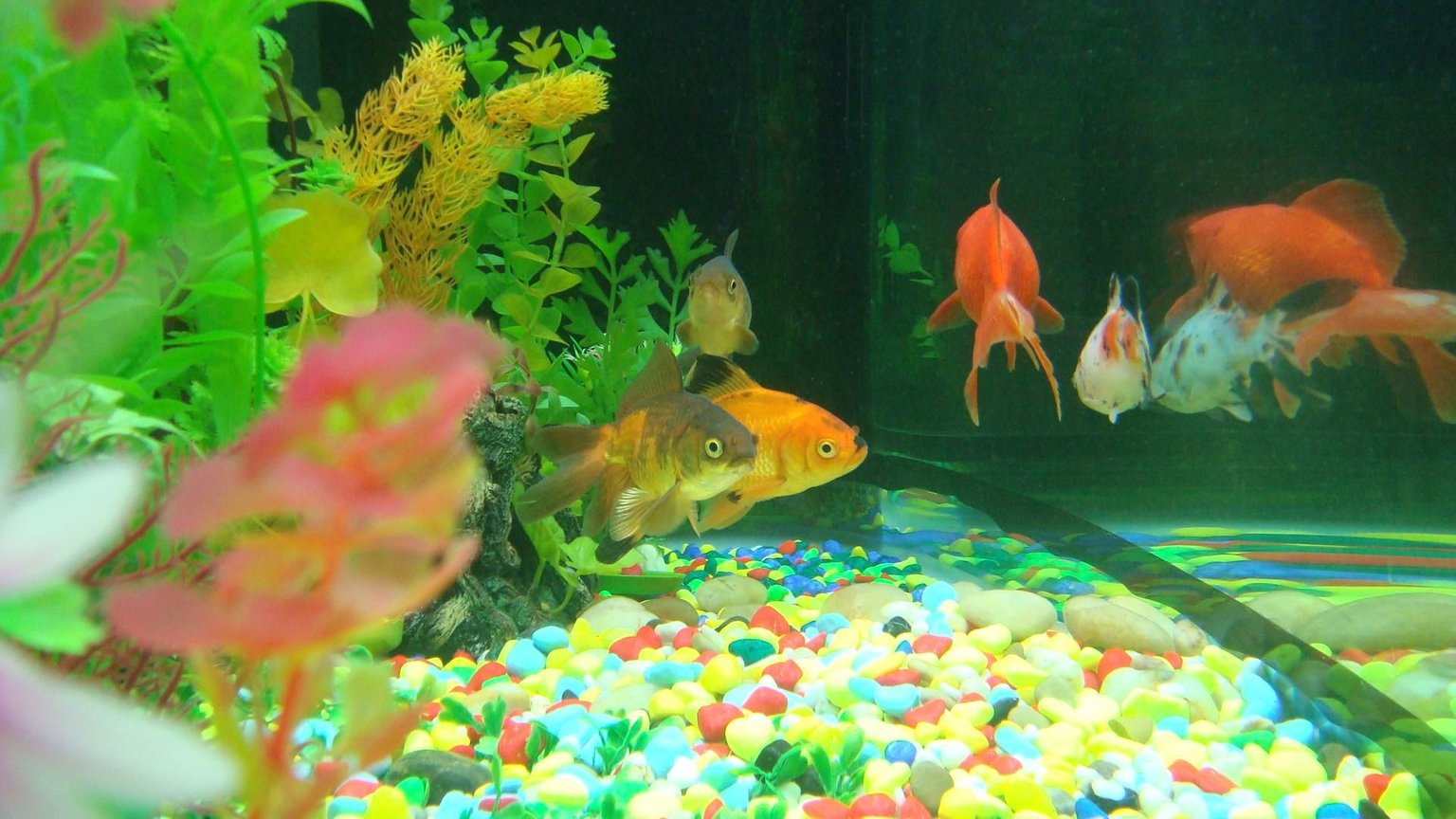60 gallons freshwater fish tank (mostly fish and non-living decorations) - Fish
