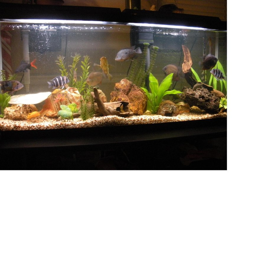 55 gallons freshwater fish tank (mostly fish and non-living decorations) - My 55 mixed cichlid community.