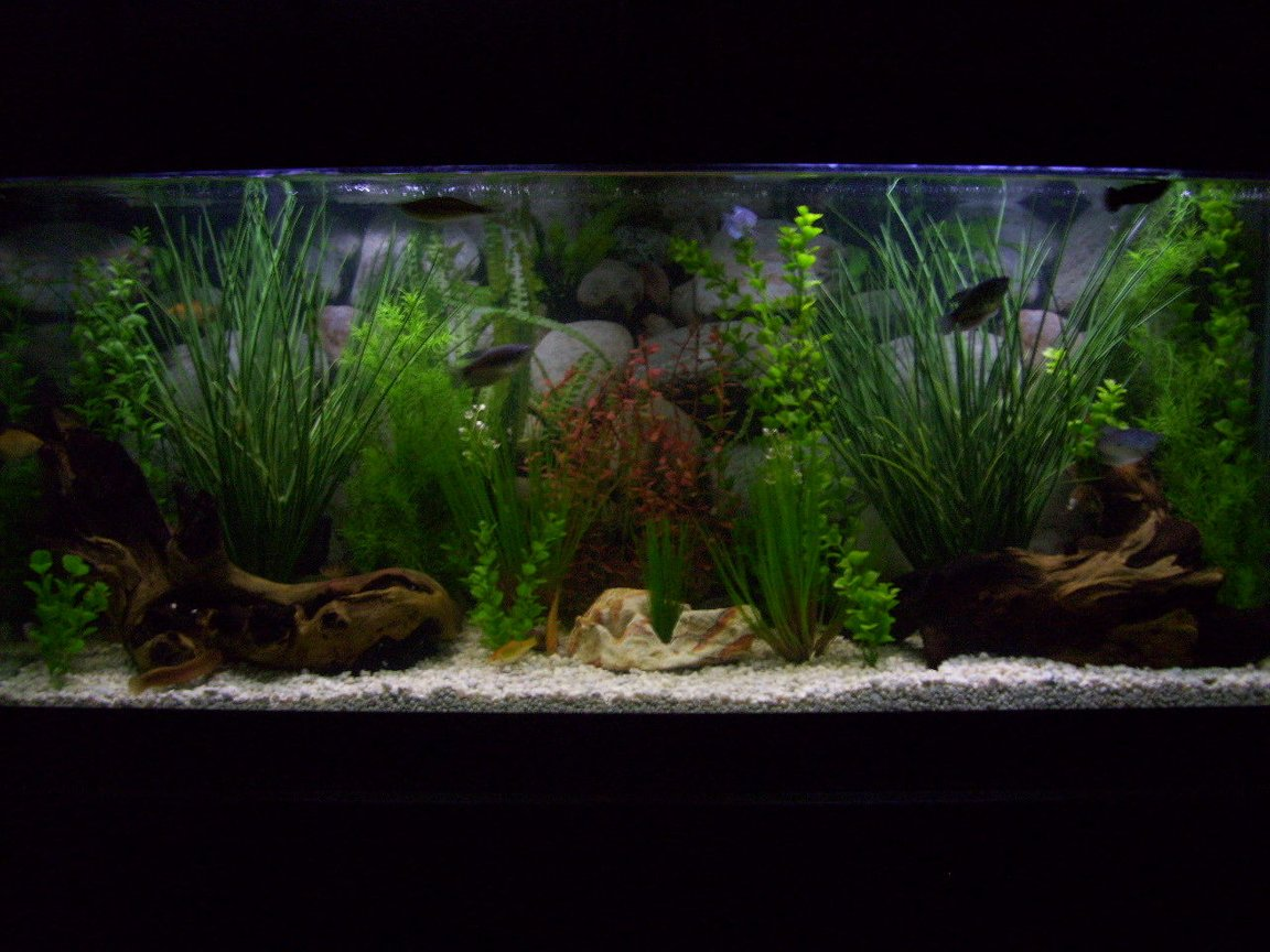 55 gallons freshwater fish tank (mostly fish and non-living decorations) - 55g community freshwater