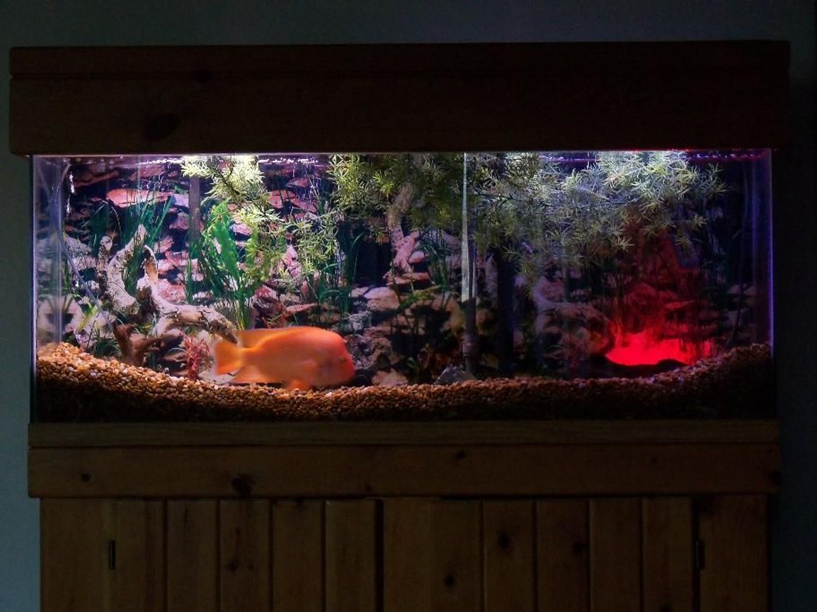 55 gallons freshwater fish tank (mostly fish and non-living decorations) - Mr. Orange my red devil cichlid in this tank.