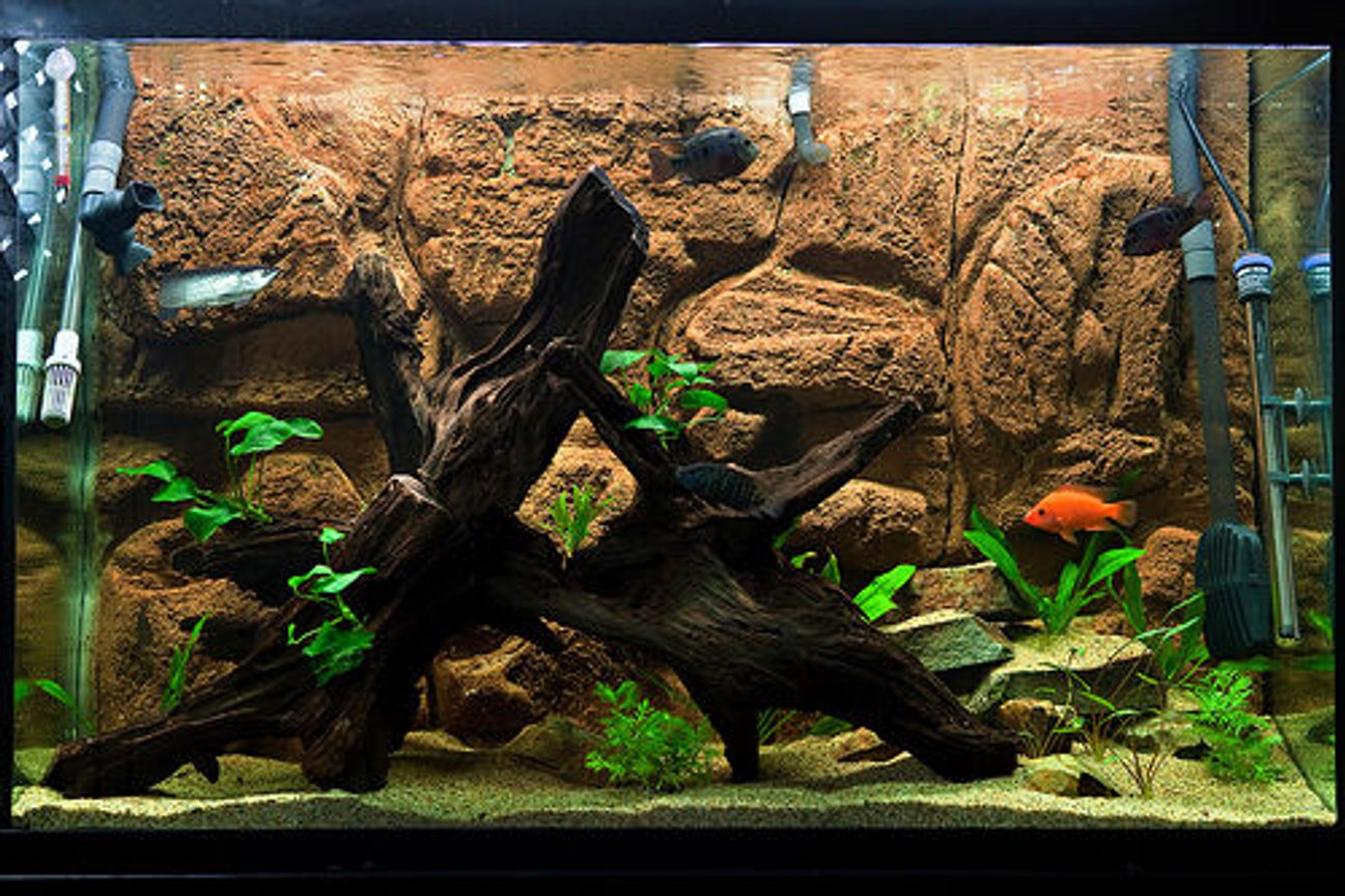 110 gallons freshwater fish tank (mostly fish and non-living decorations) - SA/CA growout tank with diy background, malay driftwood, sand, low-light plants Filtration: FX5, JBJ Reaction 4 w/UV