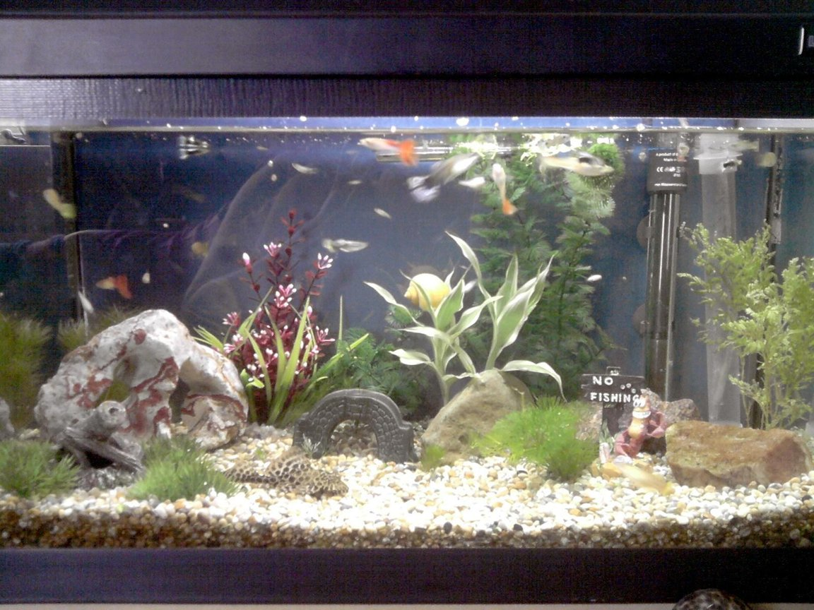 16 gallons freshwater fish tank (mostly fish and non-living decorations) - Guppy tank.