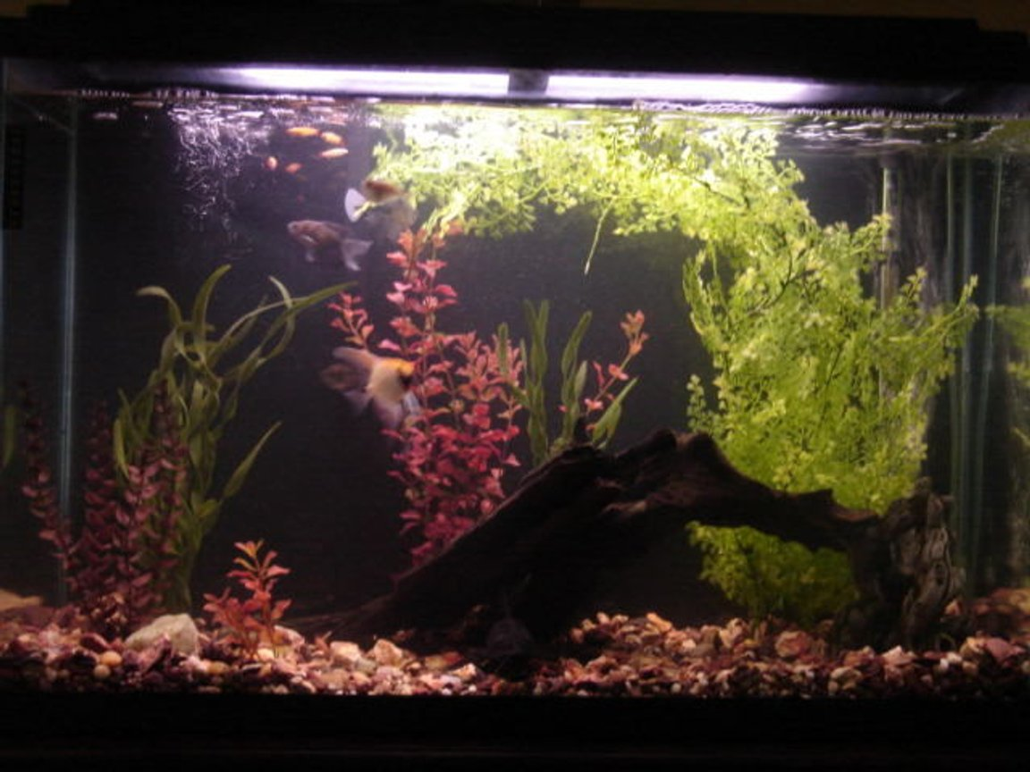 45 gallons freshwater fish tank (mostly fish and non-living decorations) - 45 gallon, plastic plants, driftwood, 1x hatchet, 2x cherry barb, 1x angelfish, 1x sailfin catfish, 2x upside-down catfish, 5x golden white clouds, 3x black skirt tetra