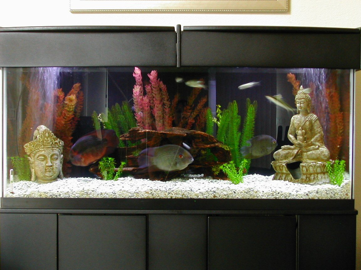 55 gallons freshwater fish tank (mostly fish and non-living decorations) - 55 Gallon Community tank with Asian flair.