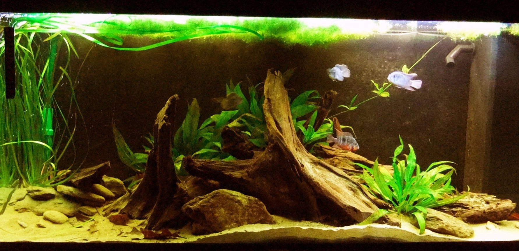 55 gallons freshwater fish tank (mostly fish and non-living decorations) - My South American themeed Cichlid tank I have: 3 blue acara 2 Firemouth (pair) 2 Black Ghost Knifefish 1 Royal L190 Panaque