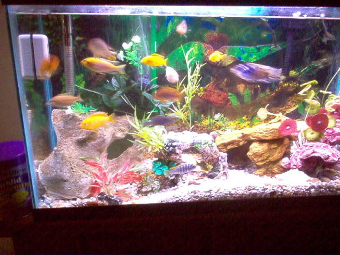 29 gallons freshwater fish tank (mostly fish and non-living decorations) - Lake Malawi species 29 gallon