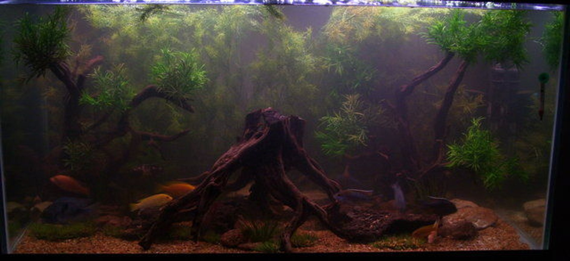 120 gallons freshwater fish tank (mostly fish and non-living decorations) - My New 120gal