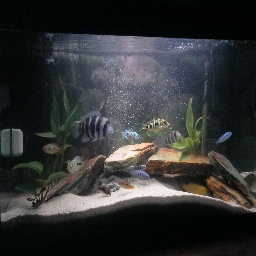 30 gallons freshwater fish tank (mostly fish and non-living decorations) - cichlids