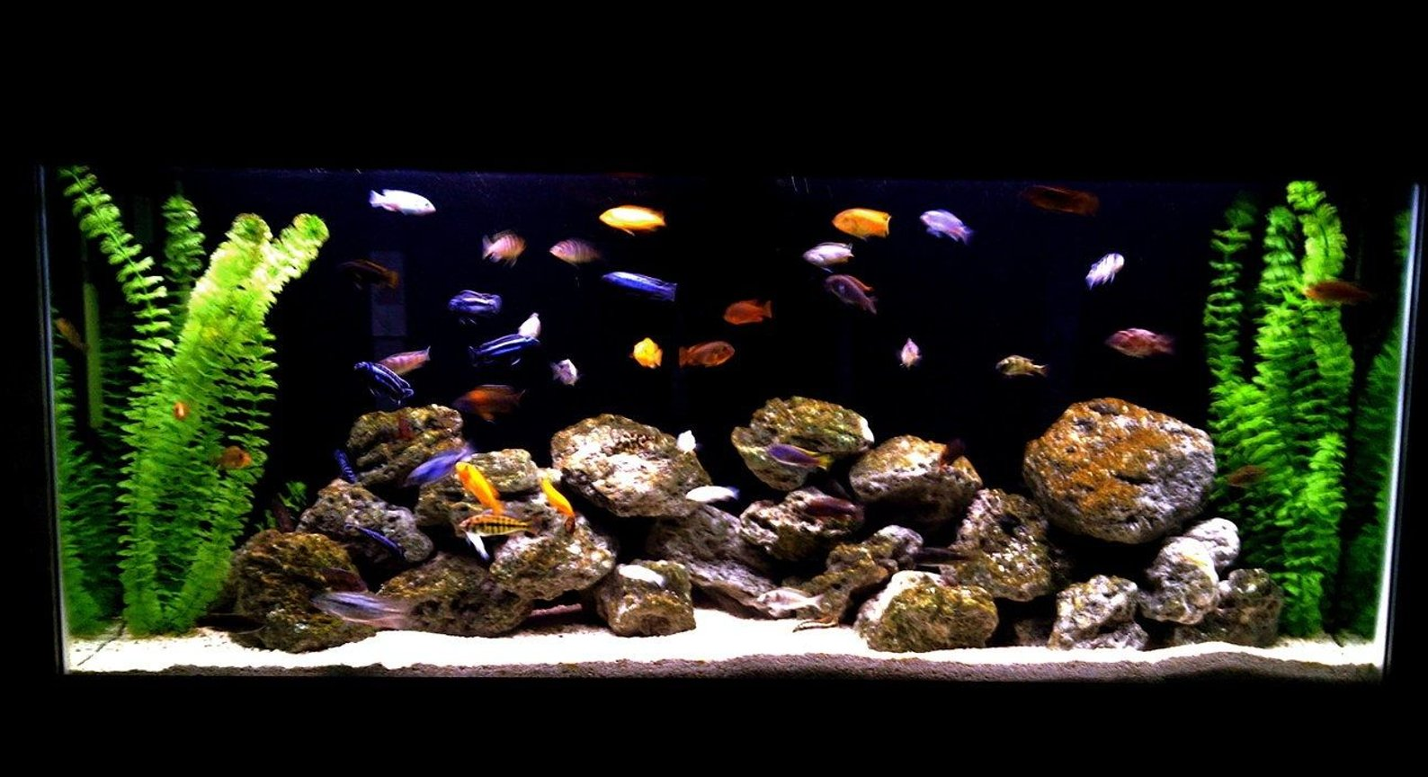 55 gallons freshwater fish tank (mostly fish and non-living decorations) - african cichlid family