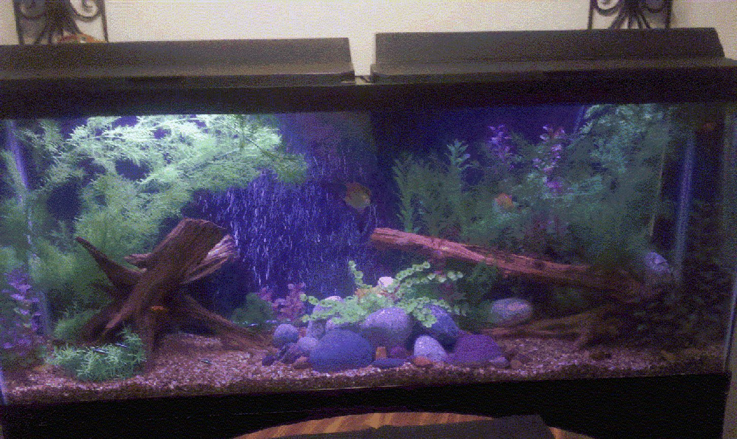 55 gallons freshwater fish tank (mostly fish and non-living decorations) - First Big Tank. Yes I know compared to the a lot of other tanks, this one is tiny. LoL