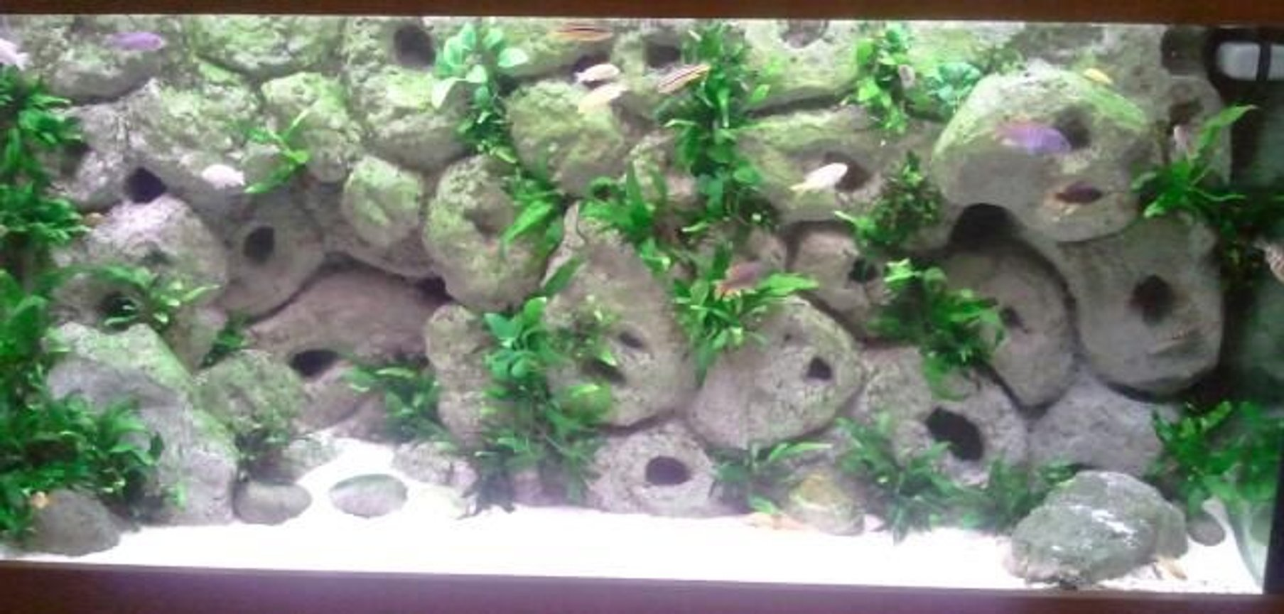 75 gallons freshwater fish tank (mostly fish and non-living decorations) - Malawi tank with DIY background