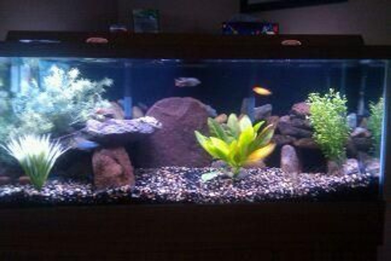 75 gallons freshwater fish tank (mostly fish and non-living decorations) - 75 gal african cichlids